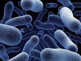 Lactobacilos e Probióticos