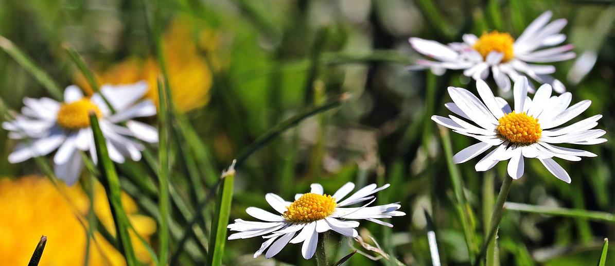 daisy-3381701_1280.jpg