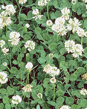 White Dutch Clover.png
