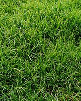 Annual Ryegrass.png