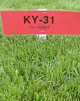 K31 Tall Fescue.png