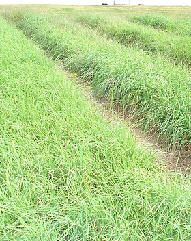 Profit Orchard grass.png