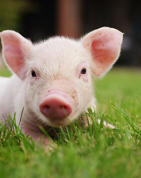pig cute newborn standing on a grass law