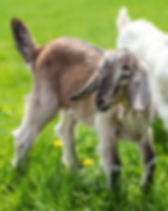 Couple of baby goat kids on the spring g