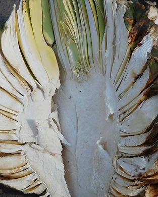 agave halfdx.JPG