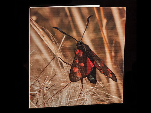 Six Spotted Moth