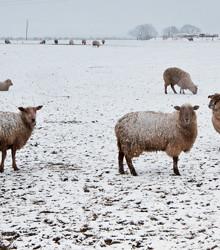 Sheep-1.jpg