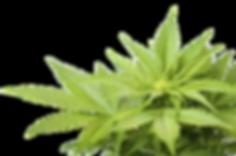 1503425987cannabis-weed-marijuana-leaf-p