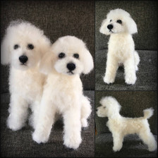 White poodle.jpg