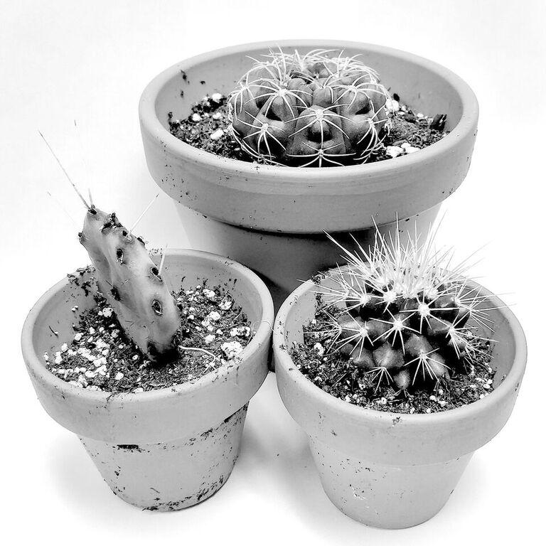 Les cactus de Bérard