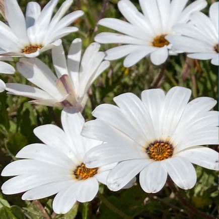 West Coast Flowers - Cape Daisy