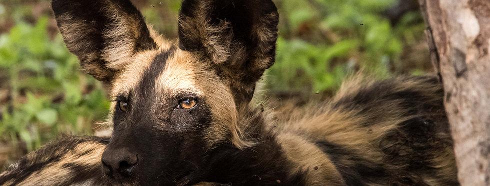 Wild Dog a