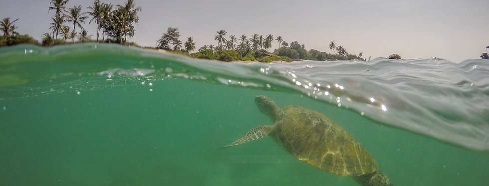 Green turtle swimming to shore