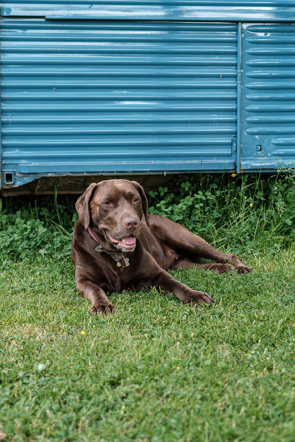 Chocolate Labrador Tilly relaxing on the grass