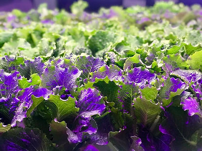 big lettuce.jpg