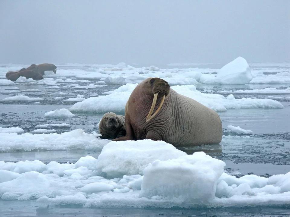 bull-walrus-1030287_960_720
