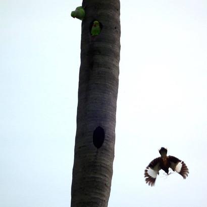 Myna & Parakeets nesting.jpg
