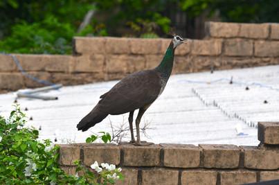 Juvi Peacock
