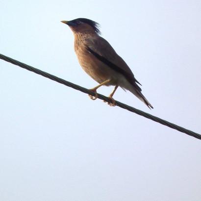 Brahminy Starling.jpg