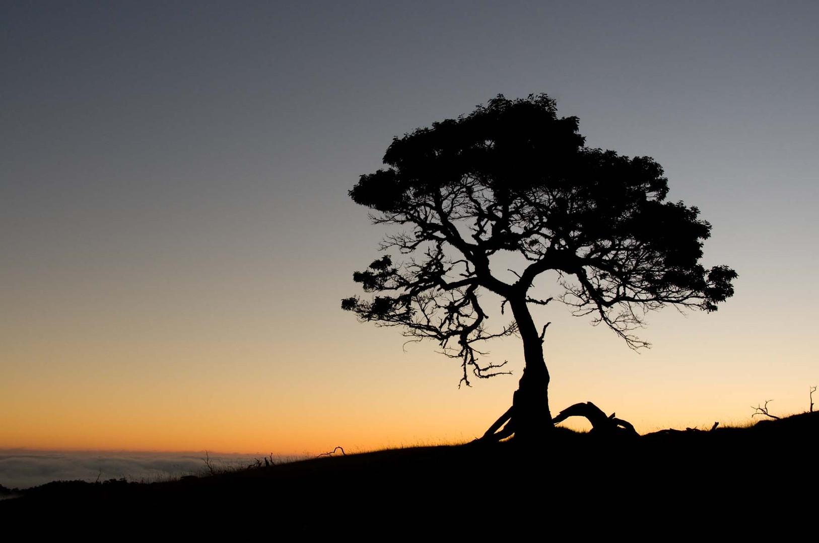 Koa-Tree-at-Sunset.jpg