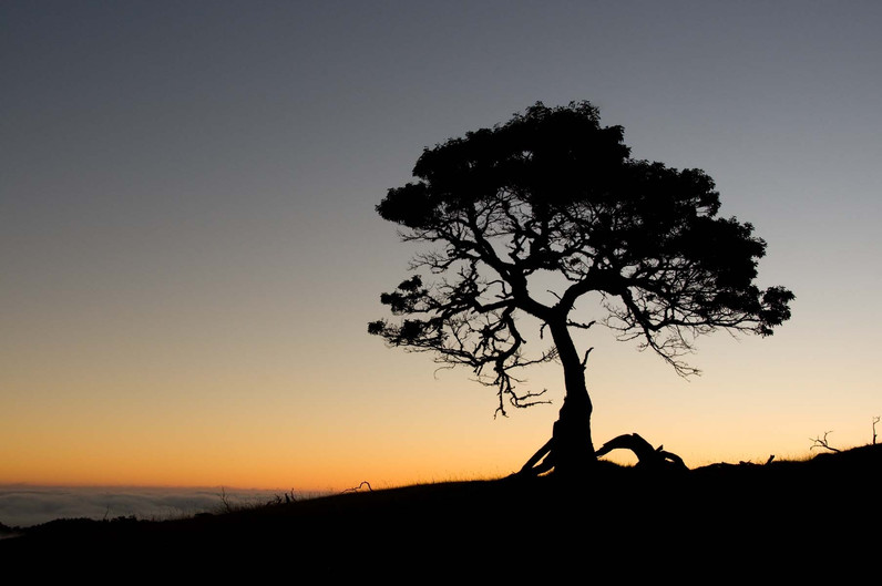 Koa-Tree-at-Sunset.jpg
