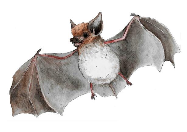 Serotine Bat.JPG