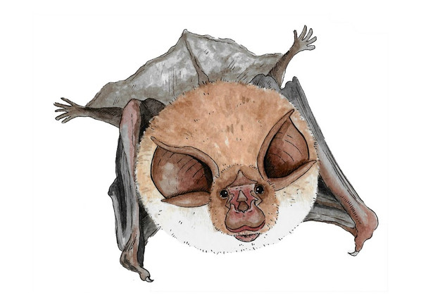 Greater Horseshoe Bat.JPG