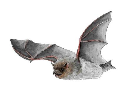 Nathusius Pipstrelle Bat.JPG