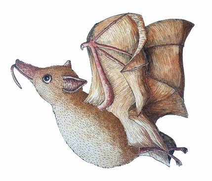 Woermann's Long Tounged Fruit Bat.jpg