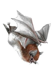 Daubenton's Bat.JPG