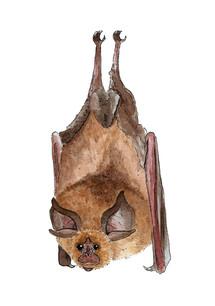 Lesser Horseshoe Bat.JPG
