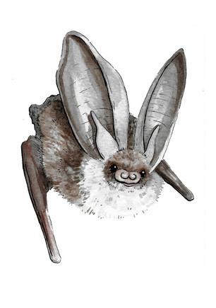 Brown Long Eared Bat.JPG