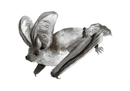 Grey Long Eared Bat.JPG