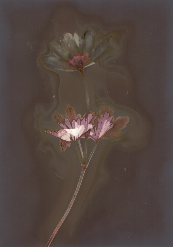 """""""Fomaspeed Variant 311 Lumen Print"""" Paper with flower motive. Print was not fixed and directly scanned."""