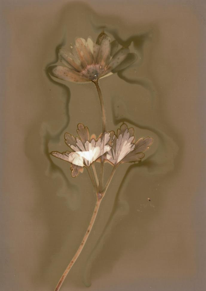 """Fomaspeed Variant 311 Lumen Print"" Paper with flower motive."
