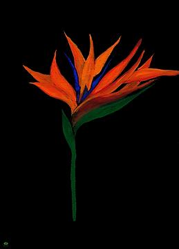 paradijsvogelbloem.png