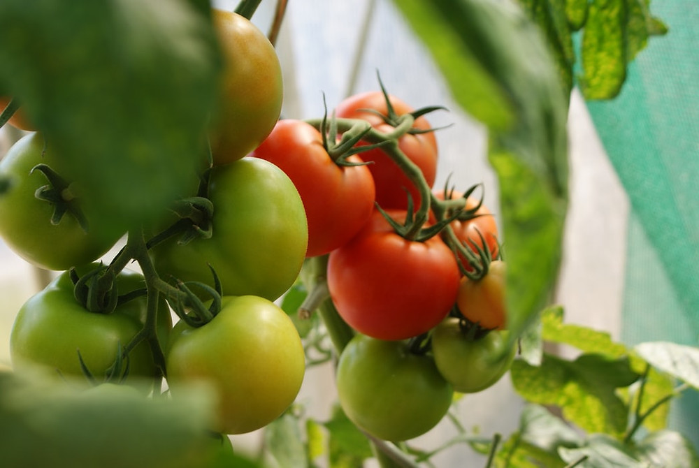 Malaysia Tomato Supplier- Chocobo Trading
