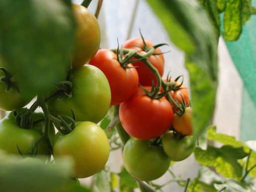 Malaysia Tomato Supplier that Delivers Fast to You!