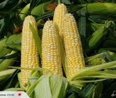 Pearl Corn 珍珠玉米