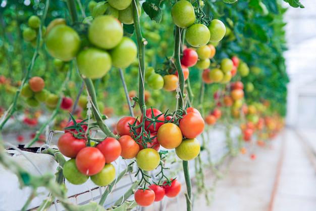 Tomato Supplier- Chocobo Trading