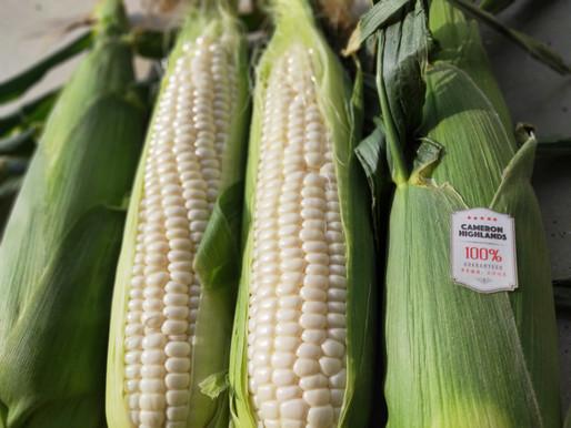 为什么金马伦牛奶玉米比珍珠玉米甜?