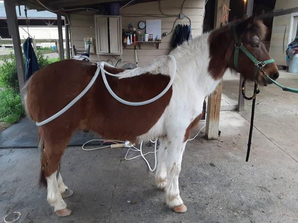 Gambler Magna Waved at Cornerstone Equestrian