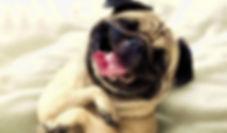 pug laughing.jpg