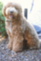 labradoodle puppies Nevada