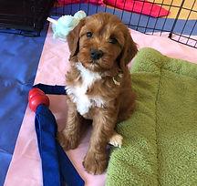 best breeder of labradoodles, best breeder in Arizona of Labradoodle puppies, Arizona labradoodle puppies, California labradoodle puppies, Bay area labradoodle puppies,