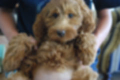 sundancelabradoodles.com, labradoodle puppies for sale