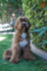 best labradoodle puppy breeder in the west, best labradoodle puppy breeder in Arizona AZ