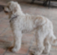 southern california labradoodle