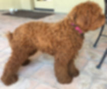 orange county labradoodles