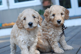 how to care for australian labradoodle